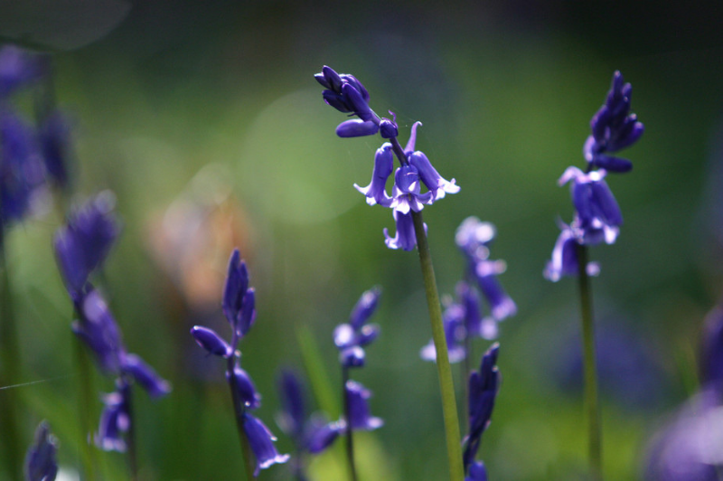 Best Bluebell Walks In Northern Ireland